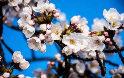 Washington D.C.'s 2016 Cherry Blossom Festival